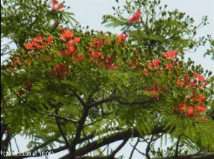 写真19 咲きはじめた火炎樹。   5月末から6月初めになると緋色の火炎樹*が満開の季節を迎え、ポカラの女性たちは緋色などの赤色のサリーを身にまとい、通りを闊歩する(写真20)。カトマンズの女性たちがジャカランダの紫色を好むのに対して、ポカラでは、原色に近い熱帯的な赤系統の色が好まれるようです。