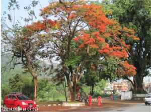 写真20 満開の火炎樹の下を緋色のサリーをまとった女性が闊歩する。